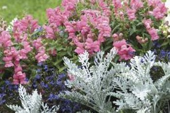 Dusty miller provides a contrast to colorful annuals.