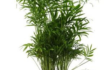 Pot bamboo to thwart the plant's tendency to invade surrounding areas.