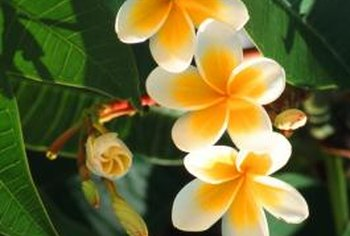 Plumeria's delicate and colorful flowers are used to make leis.
