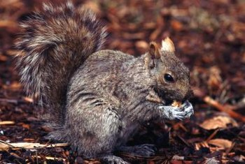 Squirrels may look cute, but can do massive damage to your garden.
