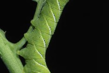 Voracious hornworms leave big holes in tomato plants.