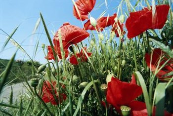 Poppies come in red, orange, lilac, peach and other colors.