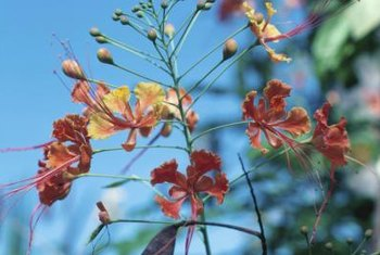 Dwarf poincianas provide gardens with exotic foliage.