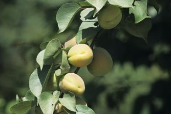 Apricot trees are quick to mature and yield fruit.