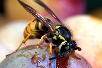 Yellow jackets are drawn to sugary foods like overripe fruits.