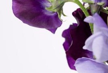 Sweet peas are available in an enormous range of beautiful colors.