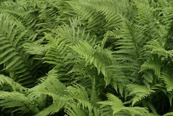 Ferns are low-maintenance plants that brighten a shady garden.