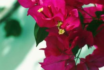 Potted bougainvillea can come indoors when the temperatures dip below 50 degrees Fahrenheit..