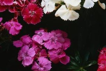 Dianthus appear in a range of colors, growing habits and flower types.