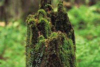 Let nature take its course or speed a stump's decay with herbicide.