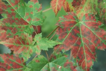 Pathogens and fungi create spots on maple leaves.