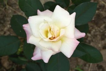 Hybrid tea roses benefit from good companion planting.