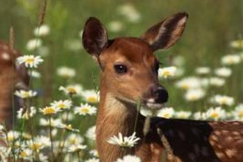 Although cute, deers can damage property.