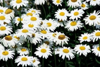 Marguerites grow best in well-drained soil in full-sun sites.