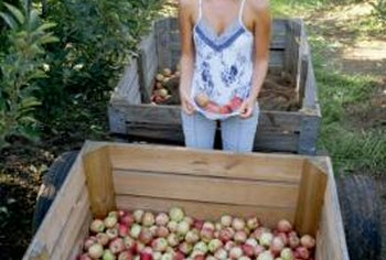 Enjoying freshly picked apples in the summer is possible.