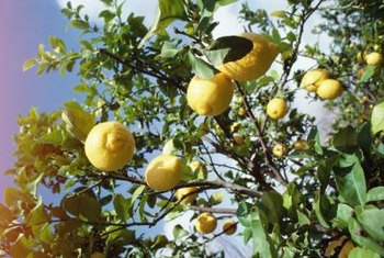 A lemon tree adds fragrance and color to the garden.