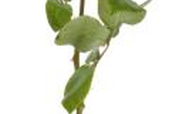 Stems can be grafted to produce more plants.