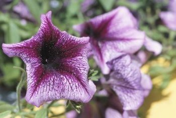 Petunias occasionally have problems with aphids or slugs.