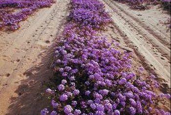 Verbena grows best in arid conditions, planted in well-draining soil.