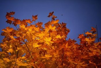 Maple trees dazzle with their fiery fall leaves.