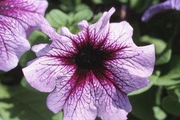 Petunias are an ornamental garden plant related to tobacco.
