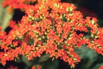 Kalanchoe flowers include bright shades of scarlet, salmon and pink.