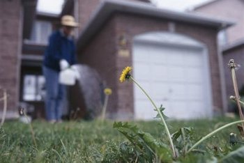 Protect your newly seeded lawn by hand-picking weeds.