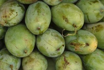 Hog plums can be eaten while unripe.