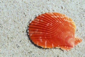 It's tough to improve on nature for vivid seashell colors.