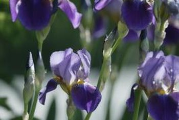 Leaf spot is common among most types of irises.