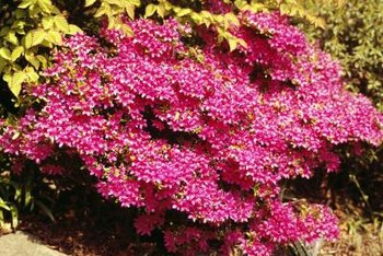 Azalea bushes can be both evergreen and deciduous.