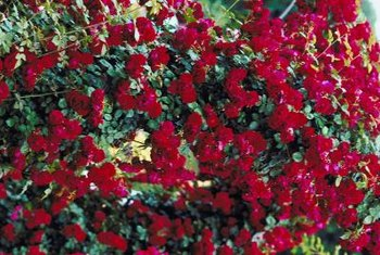 Candy-apple red roses cover Knock Out rose bushes.