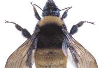 Bumblebees pollinate tomato flowers by vibrating the pollen loose.