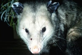 Opossums are smelly and messy but not especially dangerous.