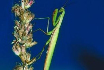 A few praying mantises in the garden can help eliminate box-elder bugs and other pests.