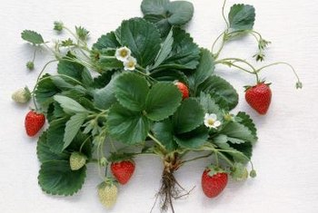 Frugal gardeners can grow strawberries in broken trash cans.