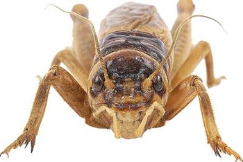 Crickets have a longer life span at cooler temperatures.