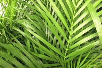 The multistemmed areca palm can be grown inside or outside.