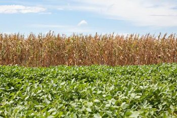 Soybeans are often grown as commercial crops in large sunny fields.