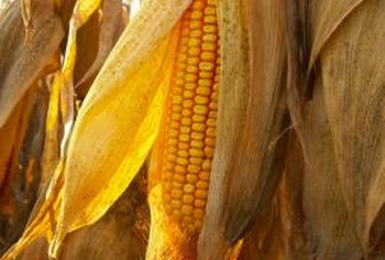 Plump kernels and brown silks indicate corn ready for harvest.