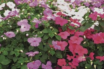 Impatiens are available in more than 15 colors, with single or double blooms.