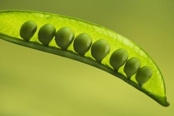 All the peas inside a pod represent potential new plants.