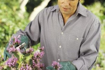 Careful cutting of autumn sage shrubs keeps them healthy.