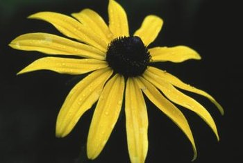 Black-eyed Susan has spike-shaped petals with space between them.