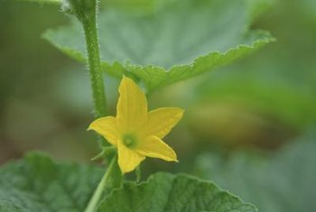 Squash, melons and cucumbers can share pests and diseases.