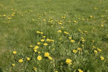 A crop of dandelions often emerges in a neglected lawn.