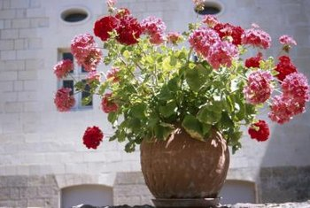 Pinching, pruning and plenty of sun keep geraniums bushy.