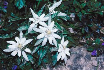 Edelweiss flowers thrive in cold climates and poor soils.