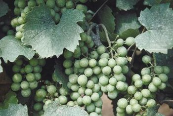 Sulfur is effective against powdery mildew on grape leaves.