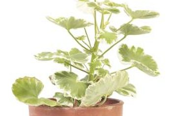 Pinching early in the season prevents leggy, single-stemmed geraniums.